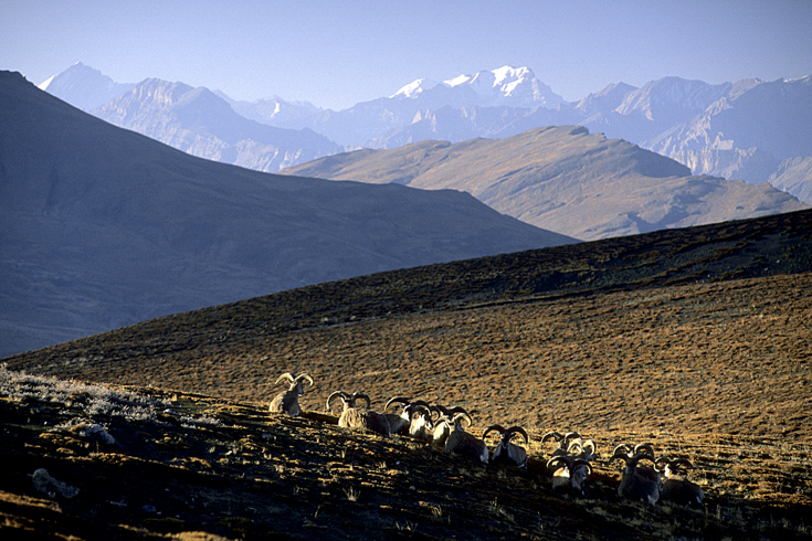 Antilopenherde in der Morgensonne, Ladakh.