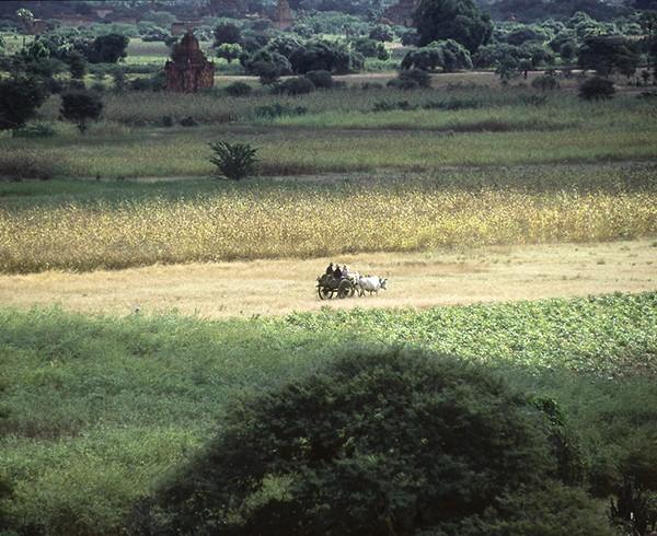 Noch sind die Ochsenkarren das gewöhnliche Transportmittel der Bauern von Bagan.
