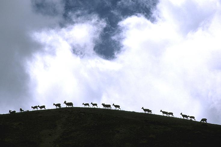 Hornträger in Ladakh