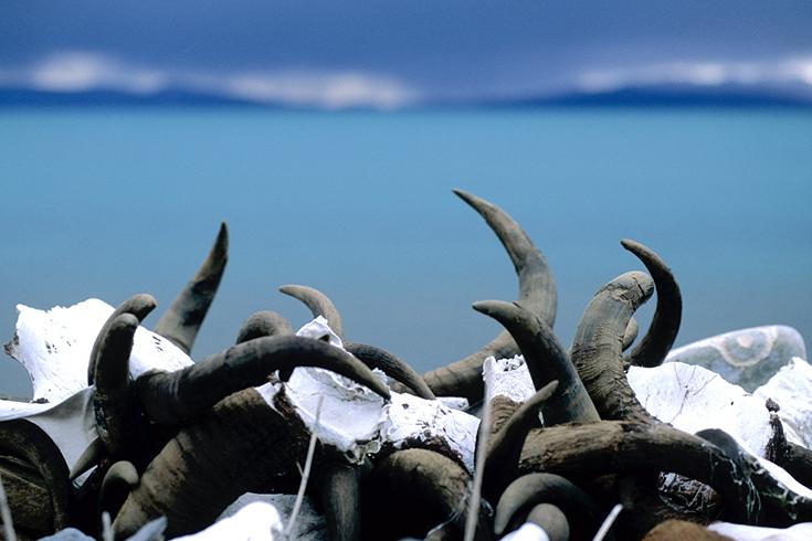 Rinderschädel auf einer Manimauer bei Seralung, Tibet.
