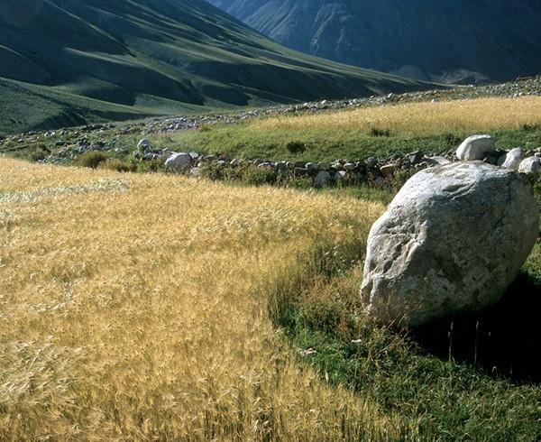 Getreidefeld bei Kargyak. Die Grenzen der bewirtschafteten Terrassen passen sich gleichsam organisch den landschaftlichen Begebenheiten an.